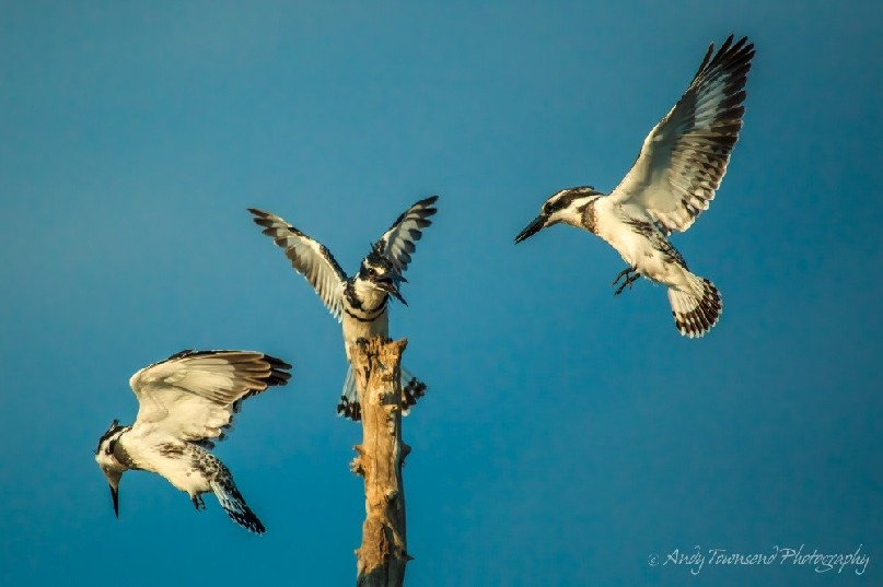 Pied kingfishers (Ceryle rudis) in flight.