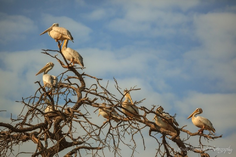 Pink-backed pelicans(Pelecanus rufescens) resting in tree.
