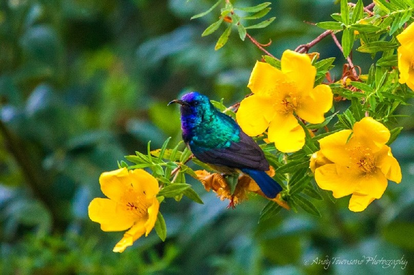 Variable sunbird (or yellow-bellied sunbird), Cinnyris venustus.
