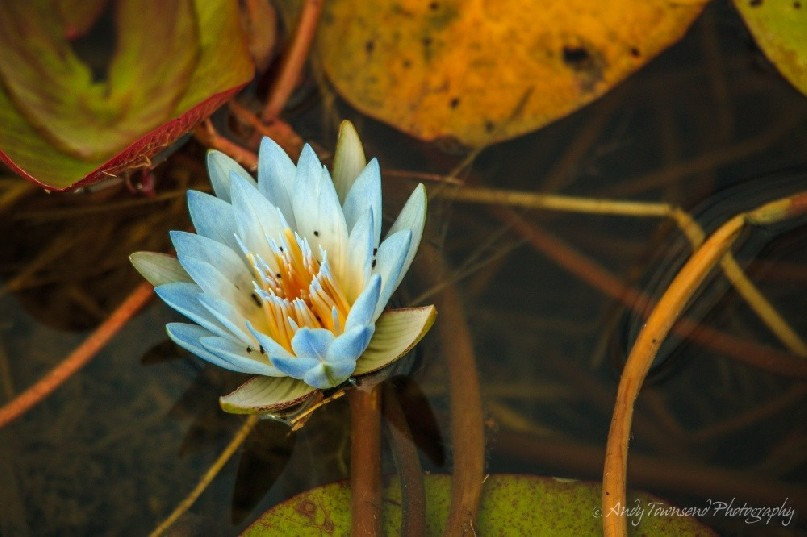 An open water lily flower surrounded by pads.
