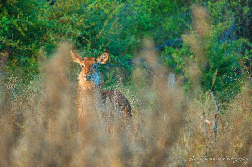 A waterbuck (Kobus ellipsiprymnus) in early morning light.