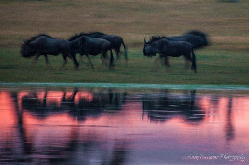 Last light refecting blue wildebeest (Connochaetes taurinus) as they run along the edge of a water hole.