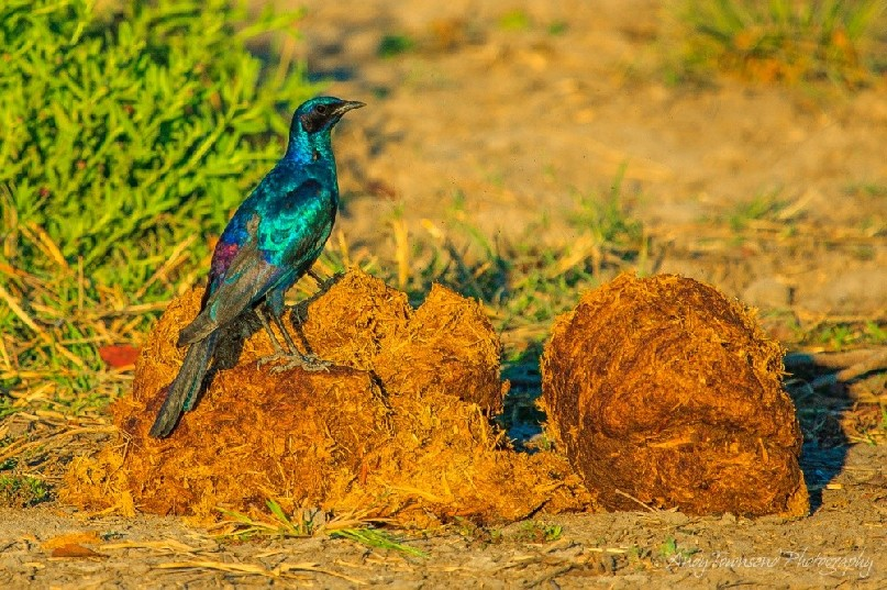 A Burchell's starling  (Lamprotornis australis) on elephant dung.