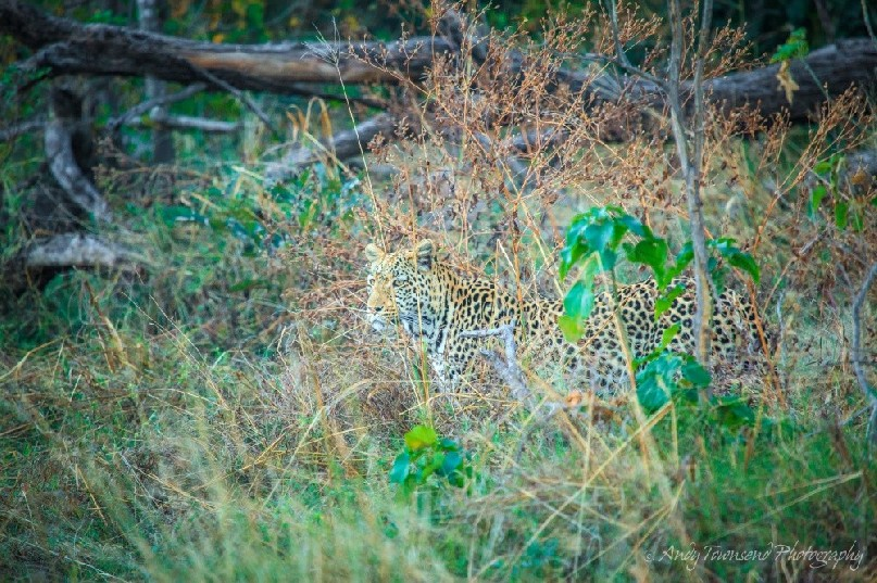 A leopard (Panthera pardus) well hidden.
