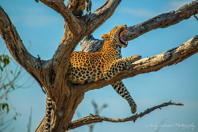 A leopard (Panthera pardus)  yawns lying in a tree.