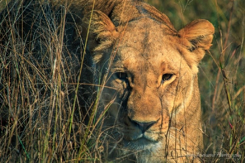 A lioness (Panthera leo) moves through the grass.