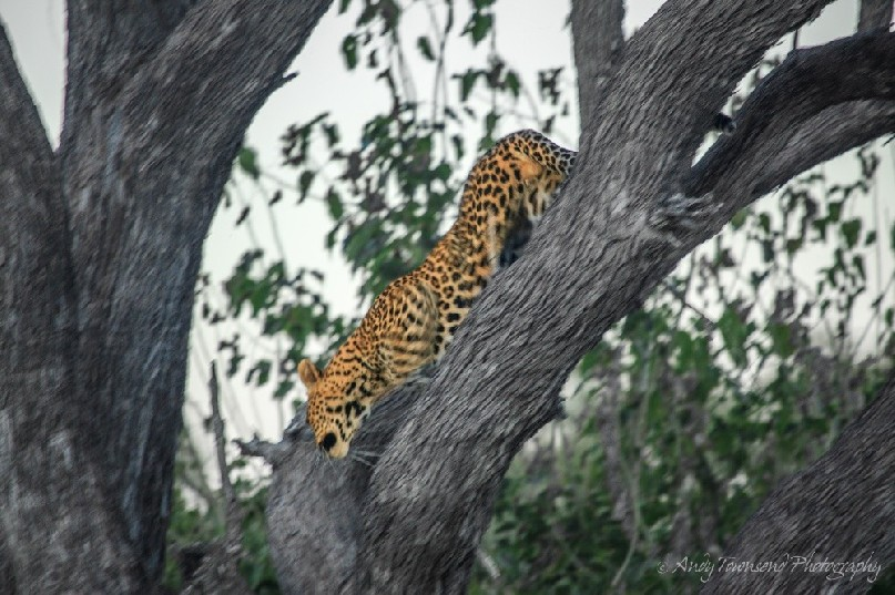 A leopard (Panthera pardus) move down a tree.