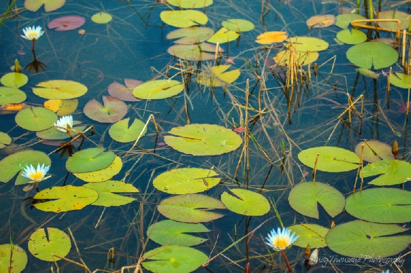 Water lily pads and flowers.