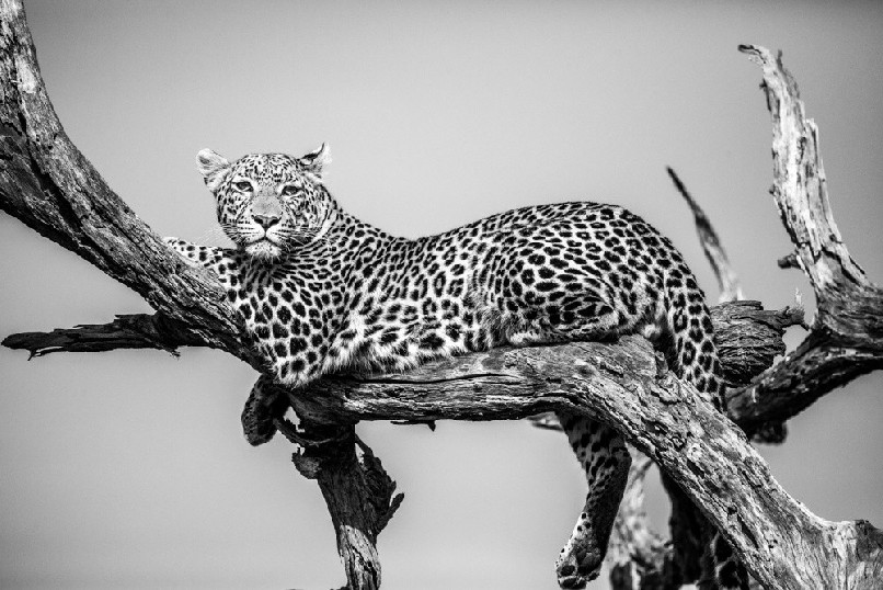 A black and white photograph showing a Leopard (Panthera pardus) lying in tree.