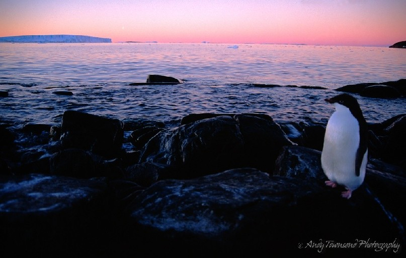 A fledgling Adelie penguin (Pygoscelis adeliae) sits by the rocky shore of Bechevaise Island, Antarctica as the sun sets over a grounded iceberg.