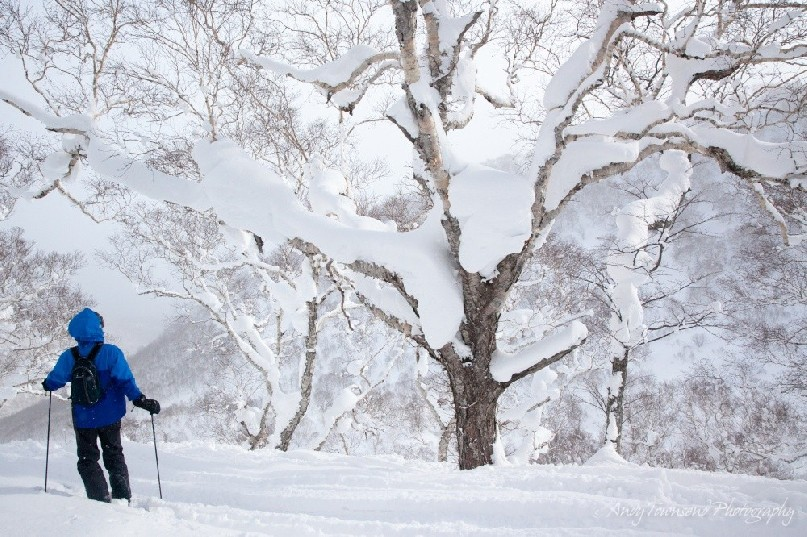 A skier contemplates snow balancing in the trunks of trees
