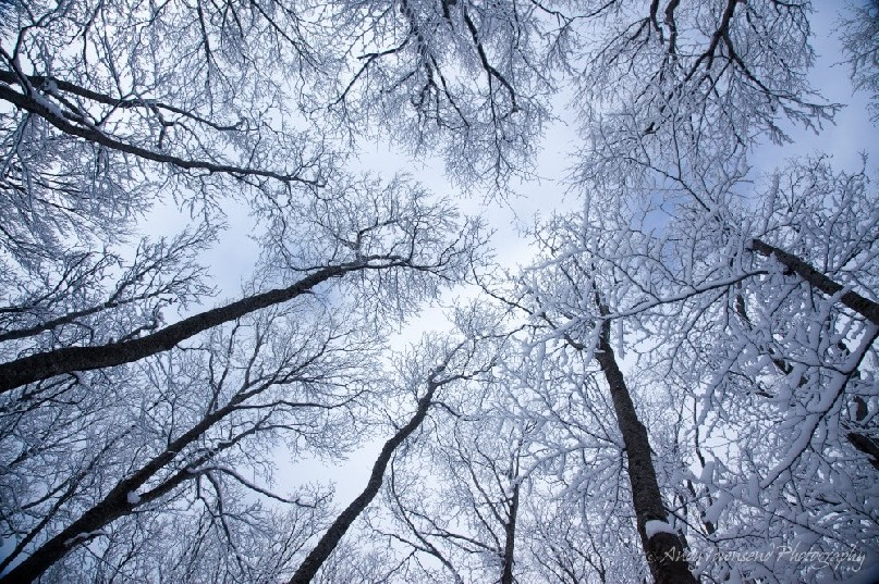 Looking up into the beech (Fagus crenata) forest canopy, the stark black trunks contrast against the snow-encrusted tree tops and sky beyond.