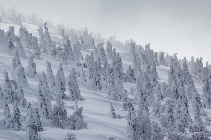 A forest of rime-encrusted 'snow monster' trees called Juhyo - Maries' fir (Abies mariesii) on a slope of deep power snow.