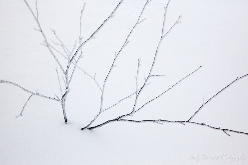 A small snow-encrusted tree sits in a background of white.