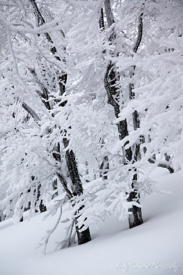 Two trees with black trunks sit in stark contrast to the snow-encrusted branches.