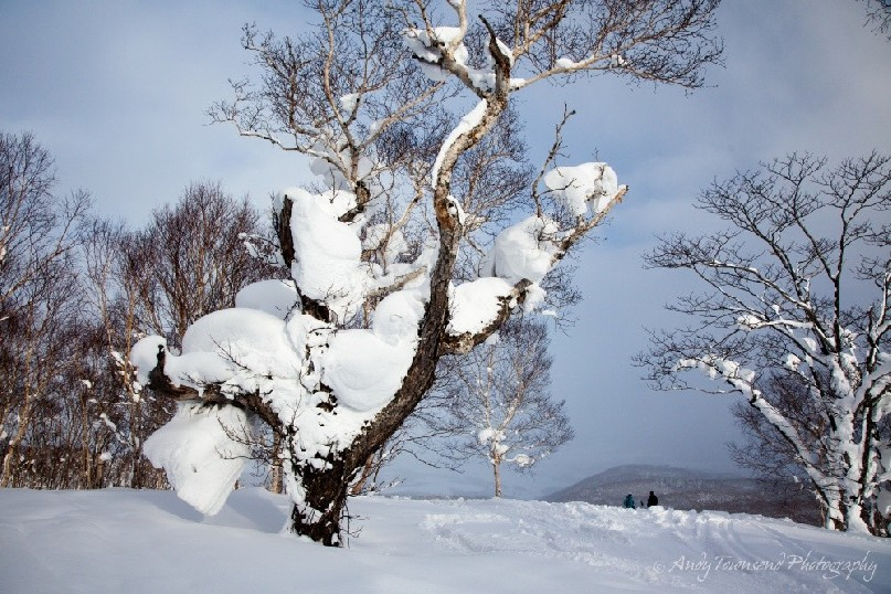 Snow piled up in large volumes in the forks and branches of this tree