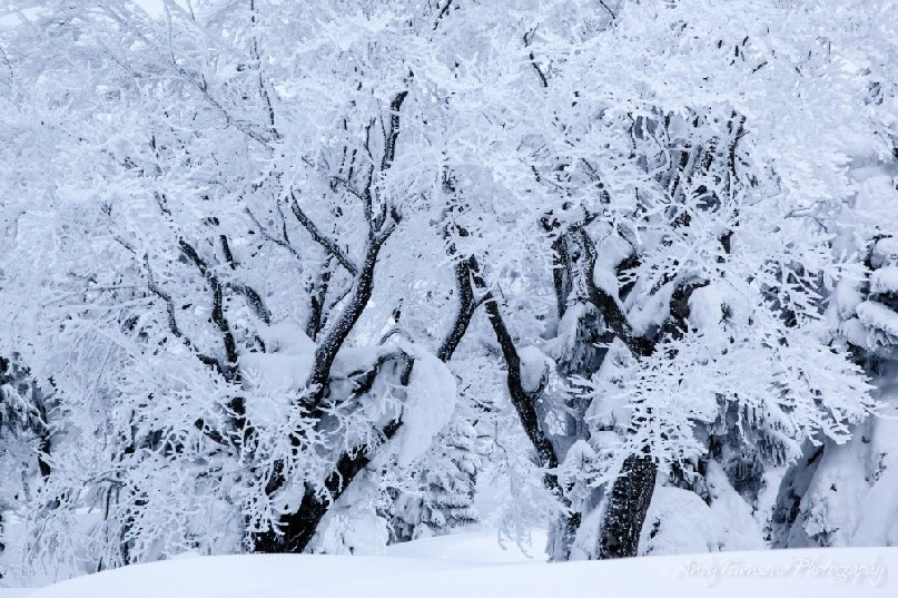 Two trees with twin black trunks show in stark contrast to the snow-encrusted branches