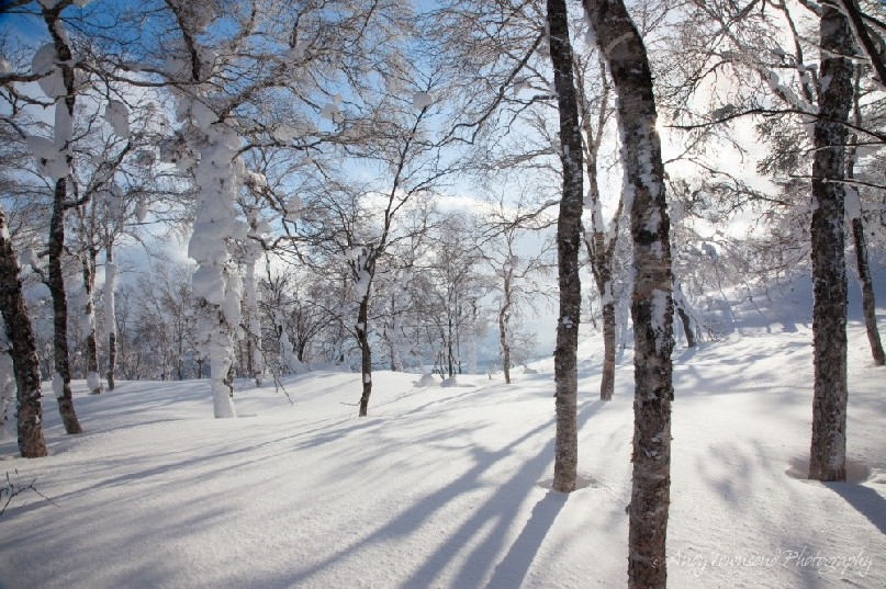 Afternoon light filters through a birch forest grove in winter