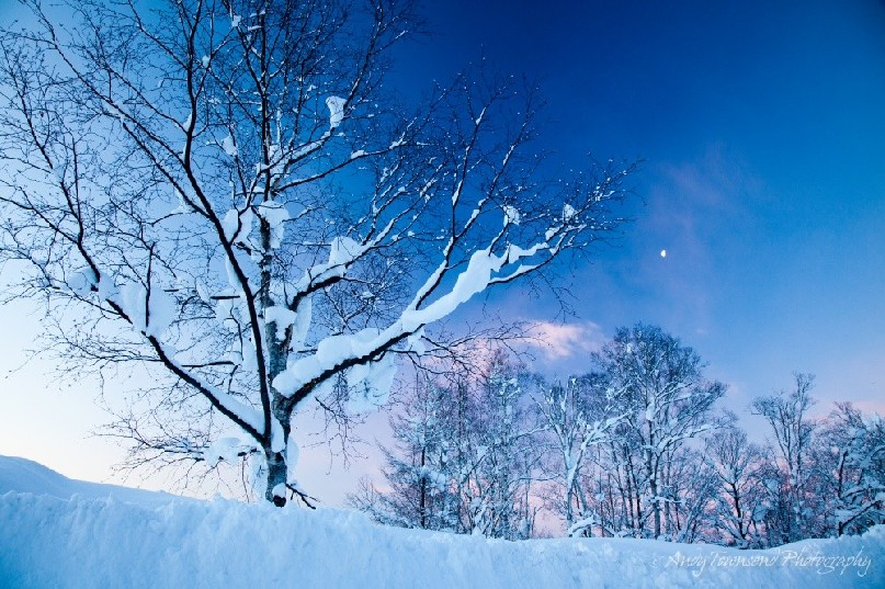 Pillows of snow encrust the branches of trees in the pre dawn light of winter