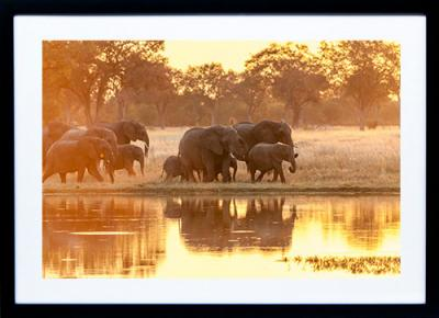 Framed Print - Elephant Reflections