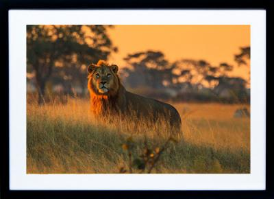 Framed Print - Majestic Lion